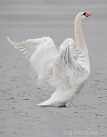 Free Swan Bird Stock Photo - 23547070