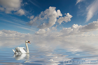 Swan in calm water