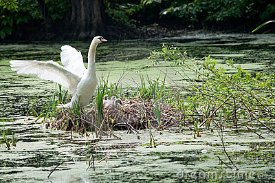 Swan and chicks in nest