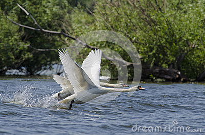 Swan (Cygnus Olor)
