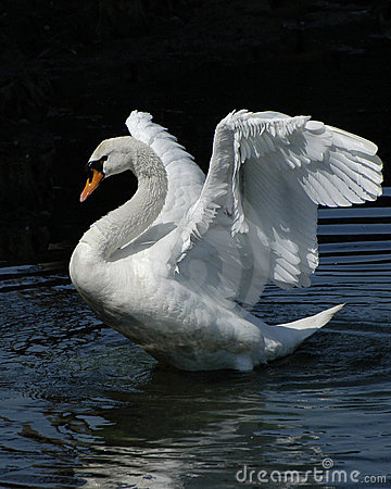 Free Swan Dance Royalty Free Stock Photo - 123965