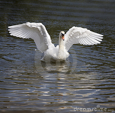 Free Swan Dance Royalty Free Stock Images - 6552919