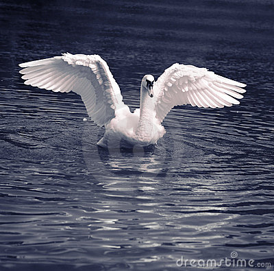 Free Swan Dance Royalty Free Stock Images - 6683599