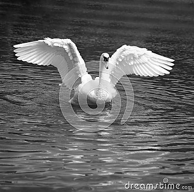 Free Swan Dance Royalty Free Stock Photos - 7376698