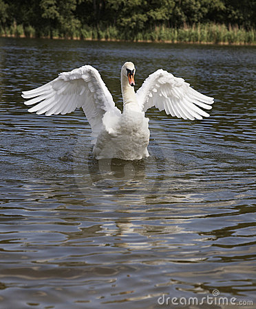 Free Swan Dance Royalty Free Stock Image - 9514766