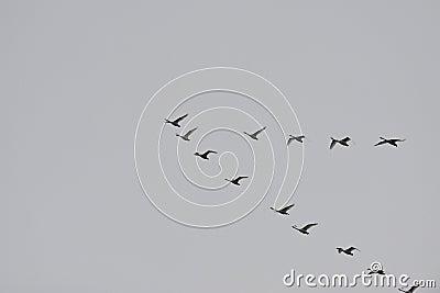Swan departure