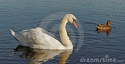Swan and a duck.