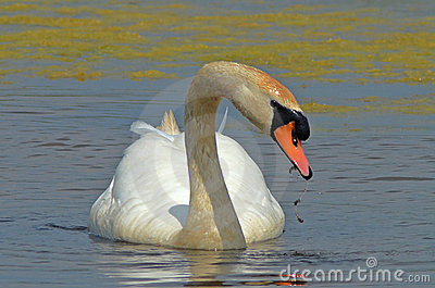 Swan eating kelp