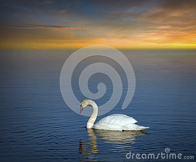 Swan in evening light