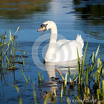 Free Swan Family Royalty Free Stock Photography - 26808397