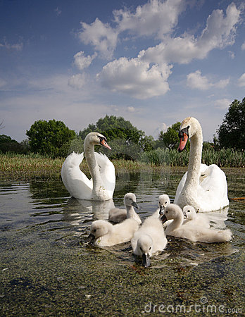 Free Swan Family Stock Photos - 4641673