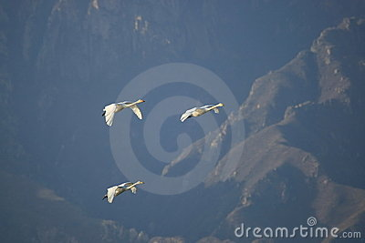 Swan family fly over mountain