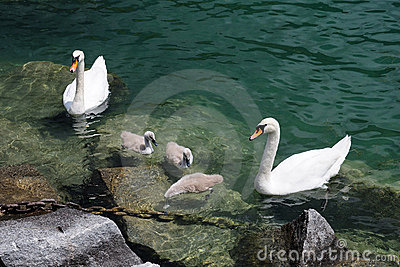 Swan family on Lugano lake, Switzerland