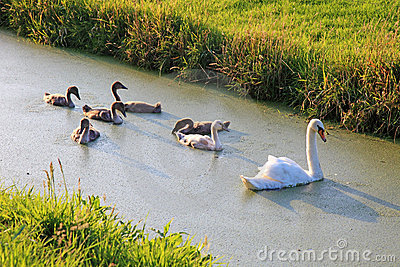 Swan family swimming.
