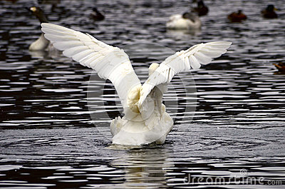 A swan flapping