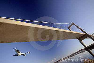 Swan flying under bridge