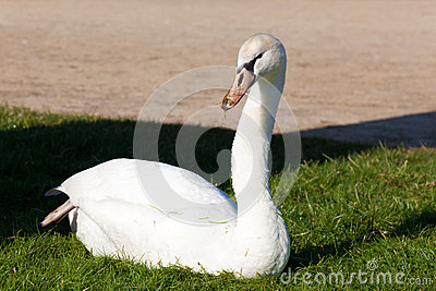 Swan in Fontainebleau