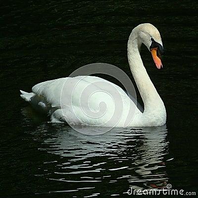 Free Swan Gliding On Lake Royalty Free Stock Photos - 325268