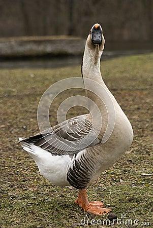 Swan Goose Staring