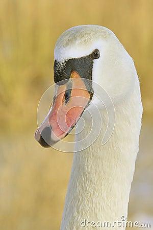 Free Swan Head At Close Stock Photography - 12578392
