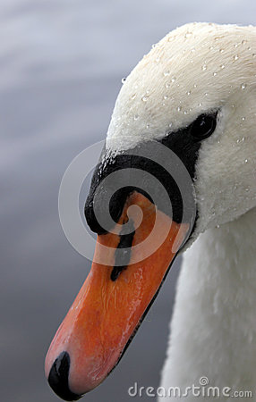 Free Swan Head Close Up Royalty Free Stock Image - 26142376