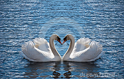 swan heart royalty free stock images image 24355099