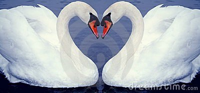 Swan heart s