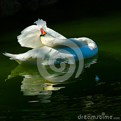 Free Swan In The Pond Royalty Free Stock Photo - 26611195