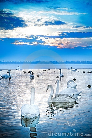 Swan Lake Stock Photos - Image: 12946513