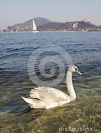 Swan at lake