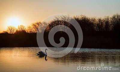 Swan on lake during colorful Winter sunrise