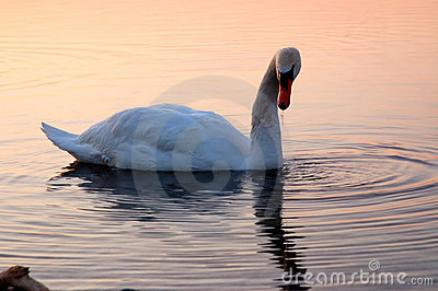 Swan on Lake Ontario 2
