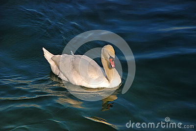 Swan on Limmat River