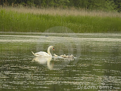 Swan with little