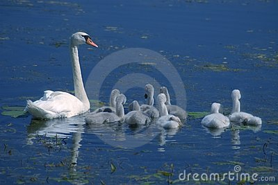 Swan with little swans