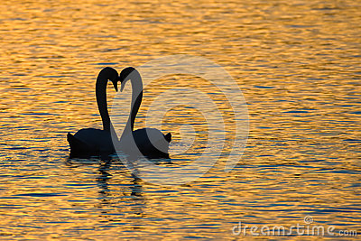 Swan mating ritual at sunset, Switzerland Stock Photo
