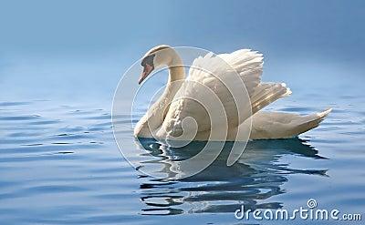 Swan on misty blue lake