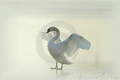 Swan on a misty frozen lake at sunrise
