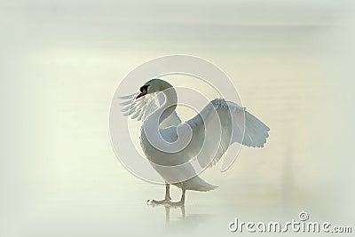 Swan on a misty frozen lake at sunrise