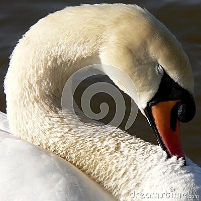 Free Swan Neck Royalty Free Stock Photos - 312468