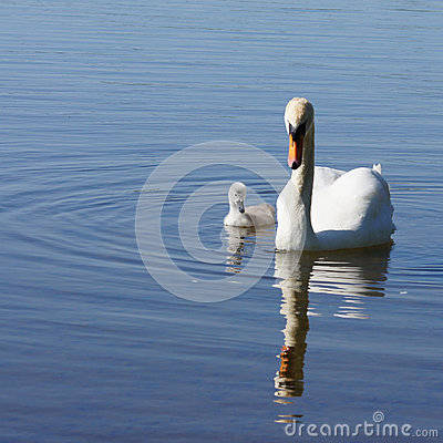 Swan and offspring