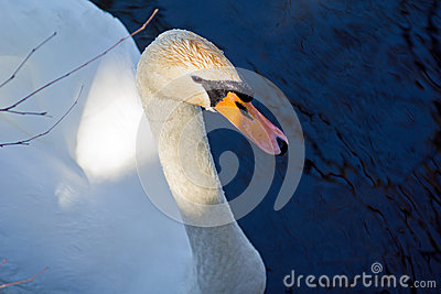 Swan on the pond