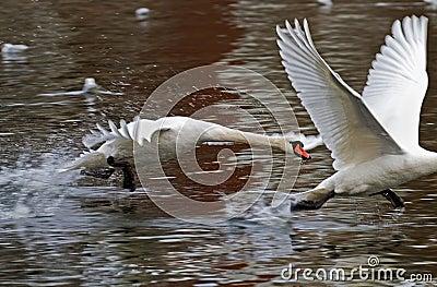 Swan race.