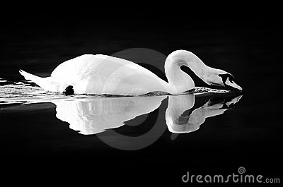 Swan reflecting on black water