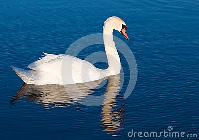 Swan with reflections on a clear blue lake