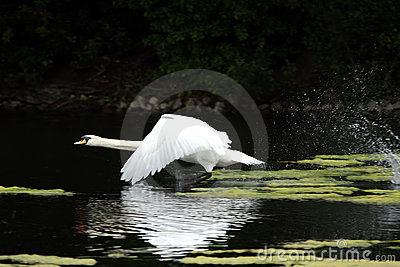 The swan runs up for rise