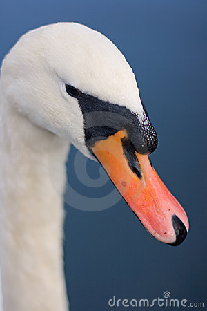 Swan's Beak Royalty Free Stock Photos - Image: 7162828