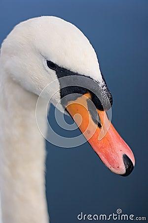 Swan s Beak