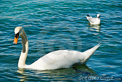 Swan and seagull on lake