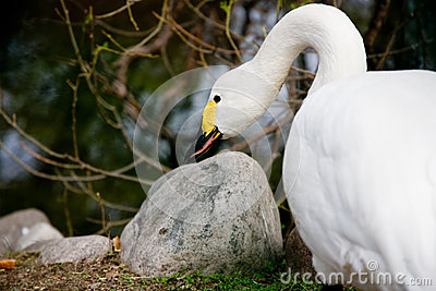 The swan sharpens a beak